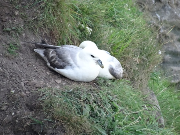 Fulmars taking a rest.