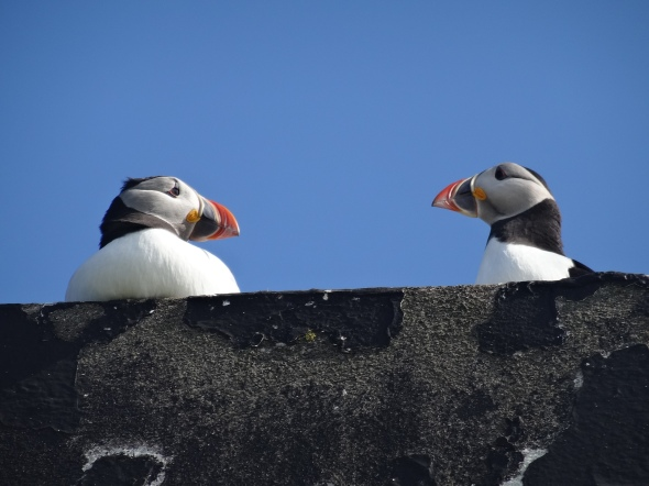 Two puffins on a rooftop