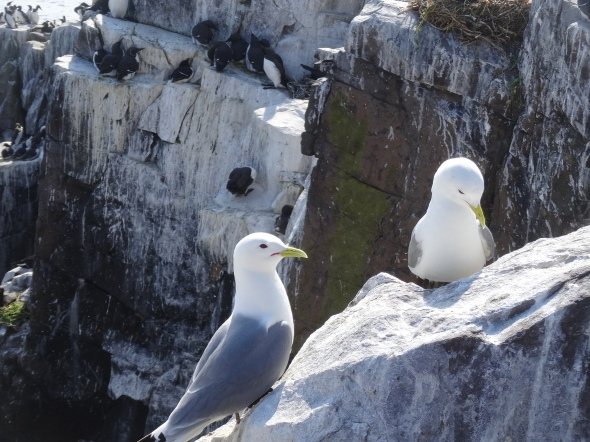 Kittiwakes on Inner Farne