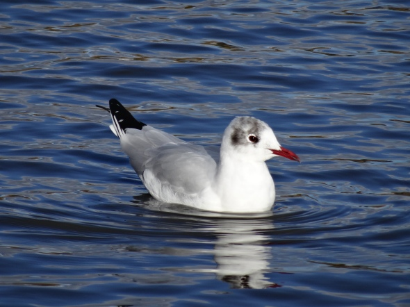Black-headed Gull, winter plumage.