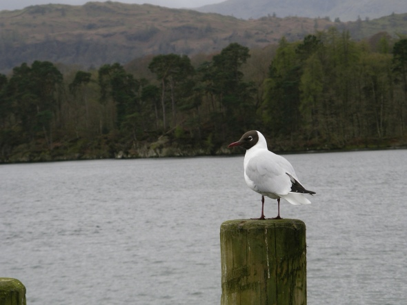 Black-headed Gull, Windermere